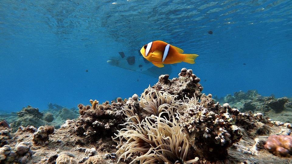 aegypten-schnorcheln-abu-dabbab-clownfisch