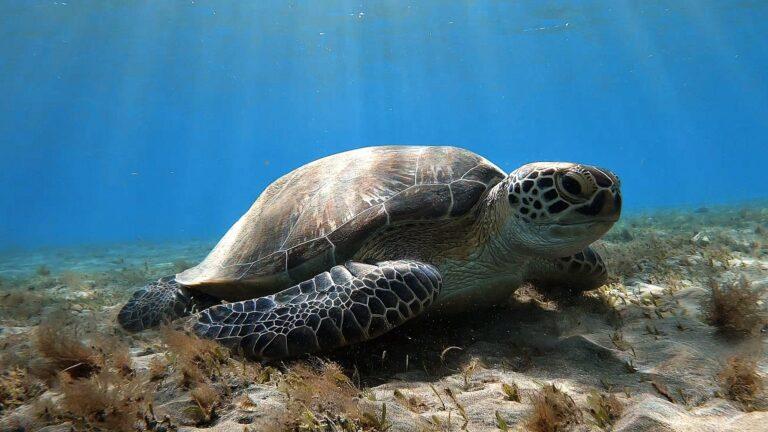 ägypten-schnorcheln-schildkröte-abu-dabbab-1