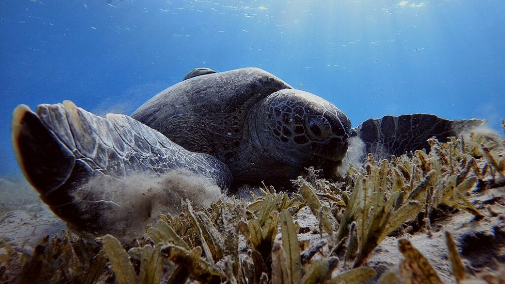 ägypten-schnorcheln-schildkröte-abu-dabbab-3