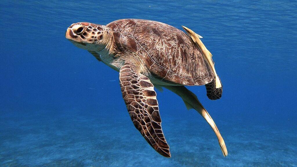 ägypten-schnorcheln-schildkröte-abu-dabbab-4