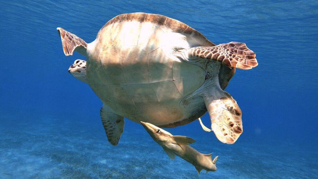 ägypten-schnorcheln-schildkröte-abu-dabbab-5