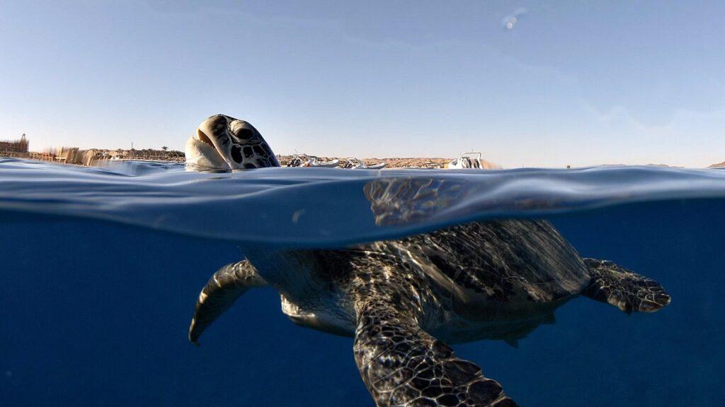 ägypten-schnorcheln-schildkröte-abu-dabbab-6