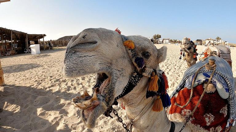 Ägypten-Urlaub-Kamel