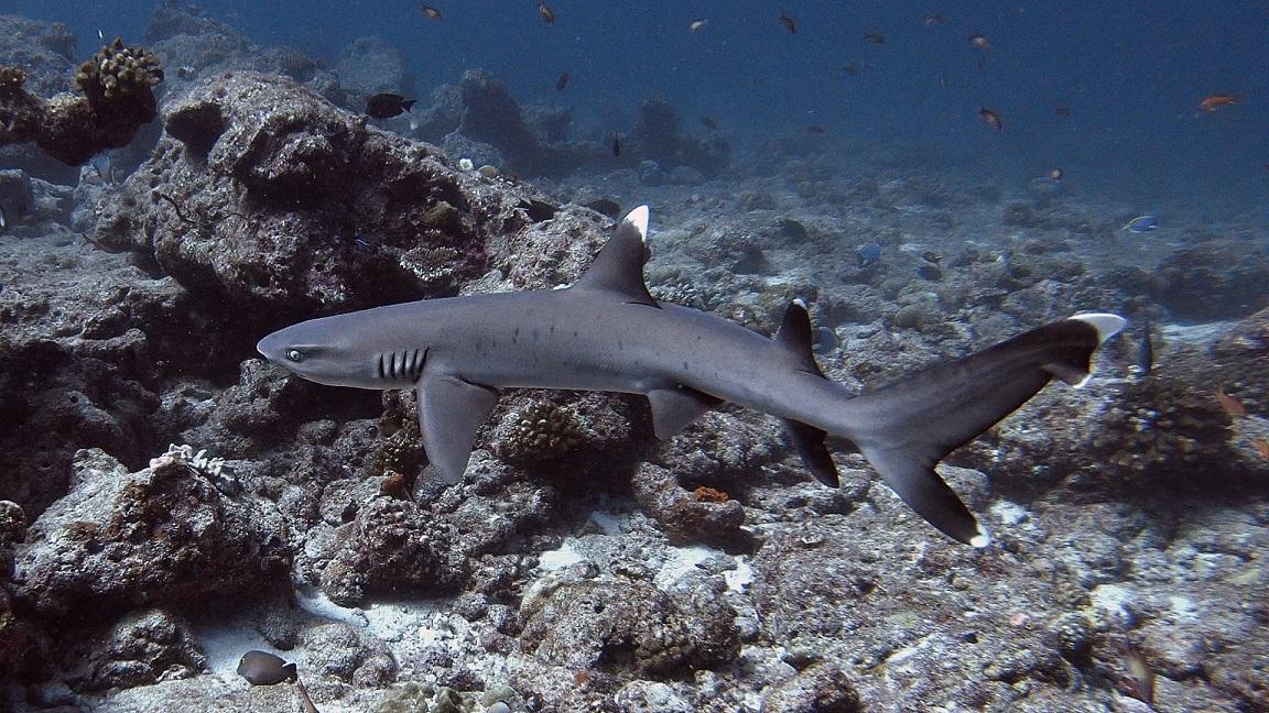 Malediven-hai
