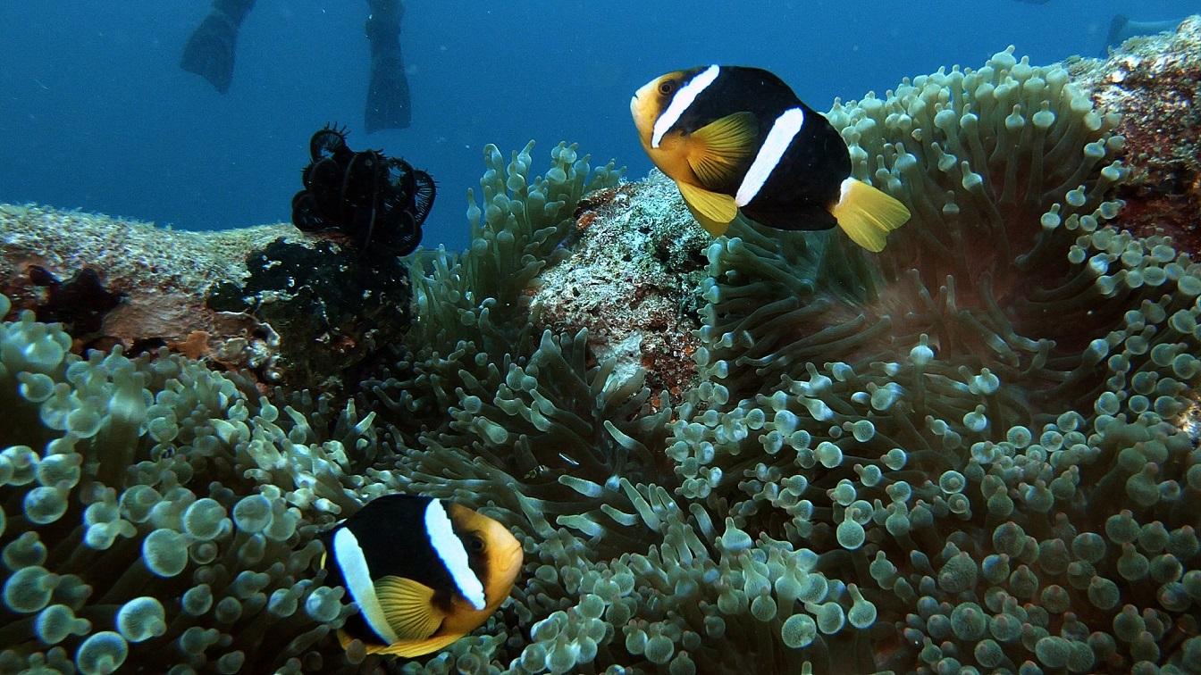 Malediven-anmeone-clownsfische