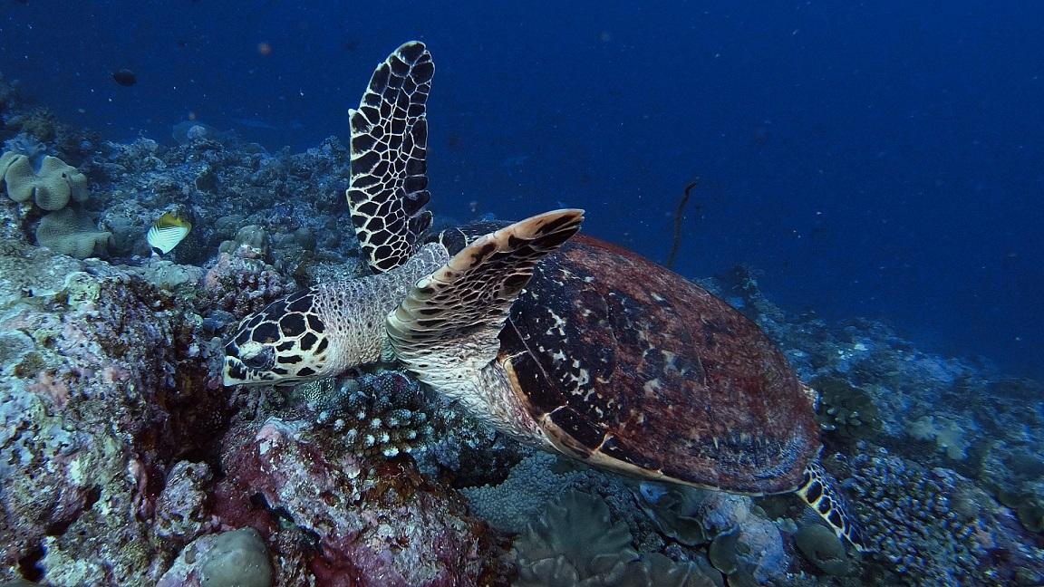 Malediven-schildkröte