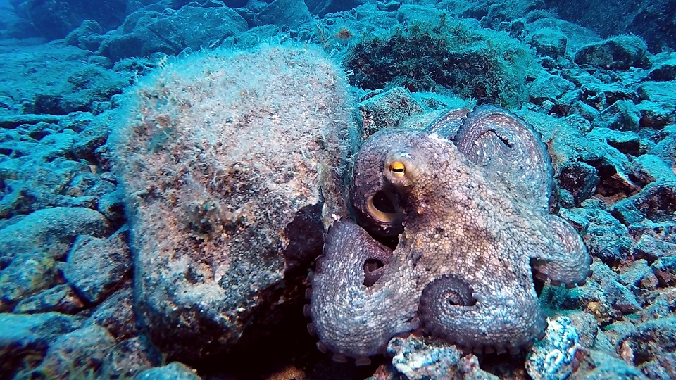 lanazarote-tauchen-oktopus