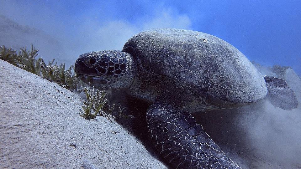 tauchen-ägypten-abu-dabbab-schildkröte