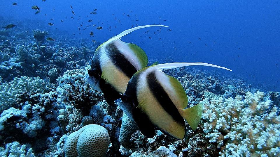 tauchen-ägypten-strahlenfisch