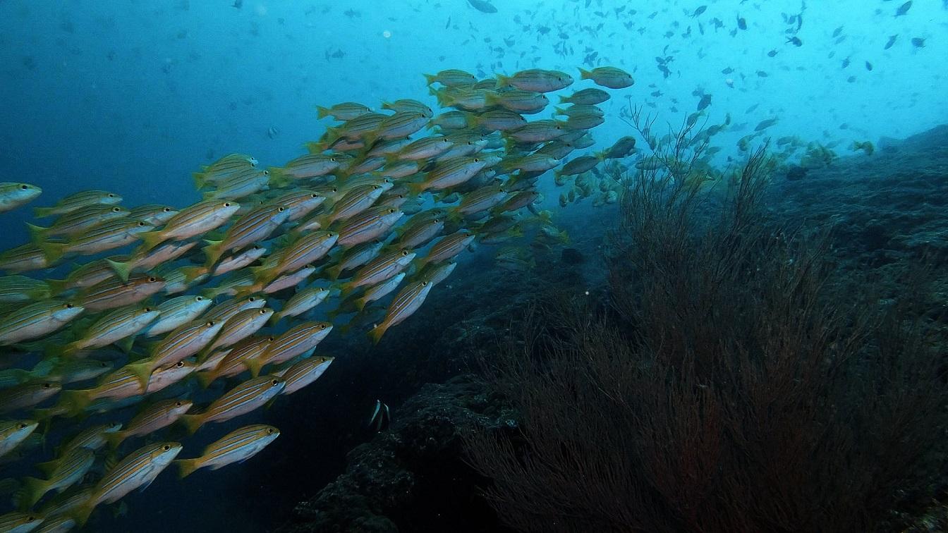 Malediven-tauchen-schwarm