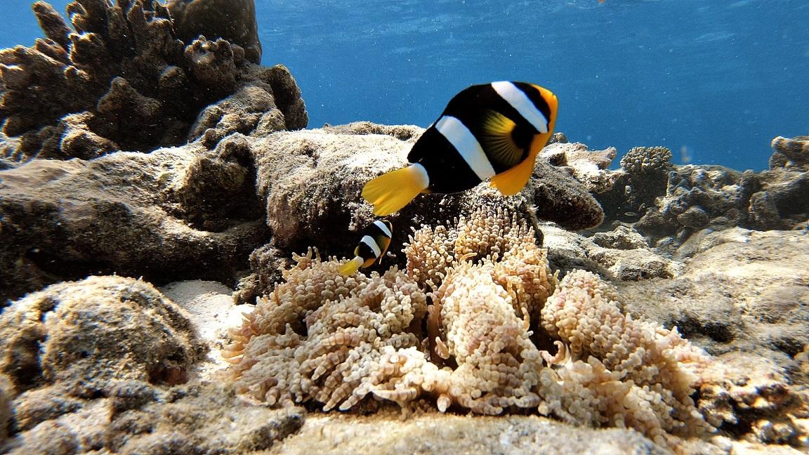malediven-clownfisch