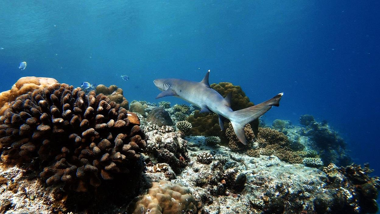 malediven-schnorcheln-hai