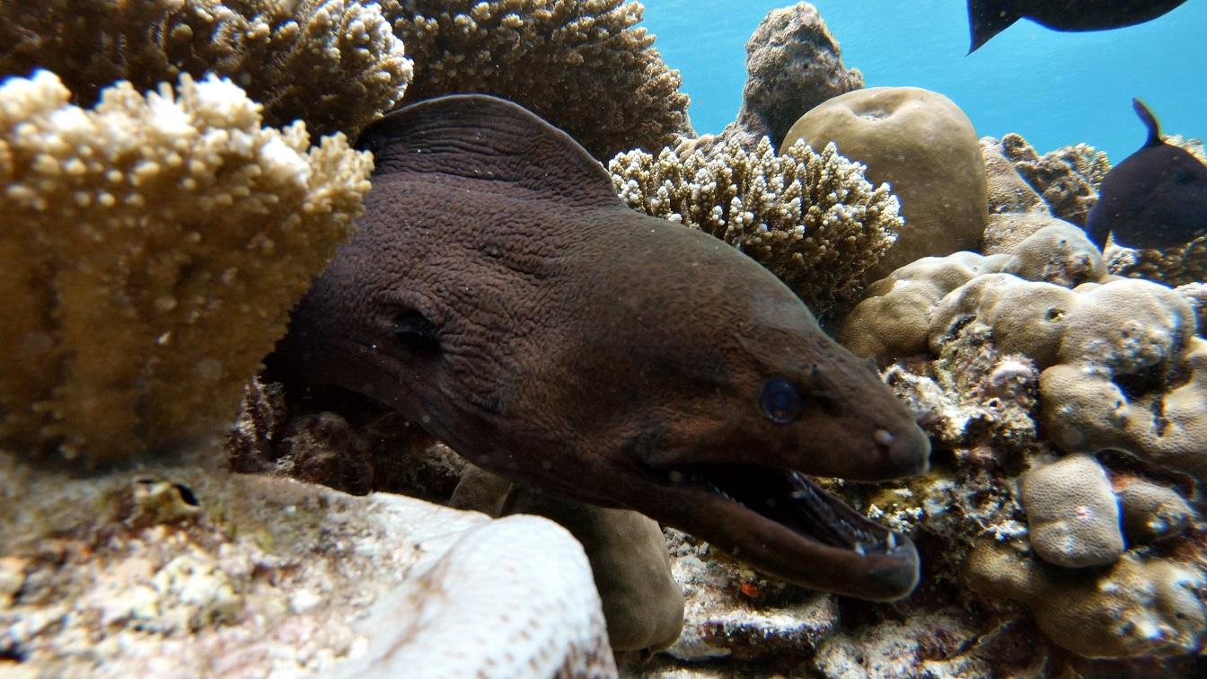 malediven-schnorcheln-muräne