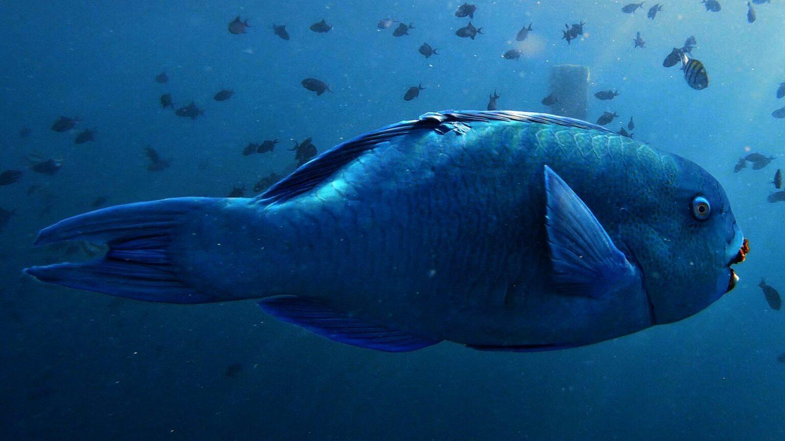 malediven-blauer papageienfisch