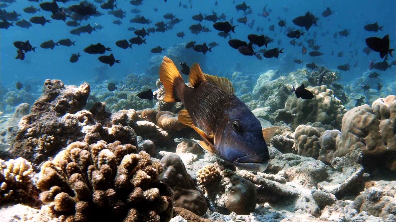 malediven-riffbarsch