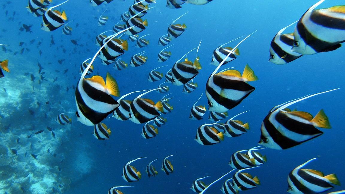 malediven-schnorcheln-ellaidhoo-falterfisch